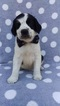 English Springer Spaniel Puppy For Sale in LANCASTER, PA, USA