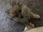 Pomeranian Puppy For Sale in LAS VEGAS, NV