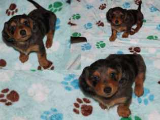 Dachshund Puppy For Sale in SHIRLEY, NY