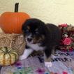 Australian Shepherd Puppy For Sale in CAPE CORAL, Florida,