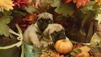 Pug Puppy For Sale in CLEBURNE, TX, USA