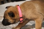Belgian Malinois Puppy For Sale in ETOWAH, OK, USA