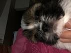 Shih Tzu Puppy For Sale in TRENTON, FL, USA
