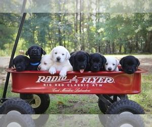 Labrador Retriever Puppy for sale in FOXWORTH, MS, USA