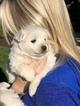 American Eskimo Dog Puppy For Sale in OREGON CITY, OR, USA