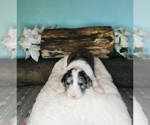 Sheepadoodle Puppy for Sale in PIERPONT, Ohio USA