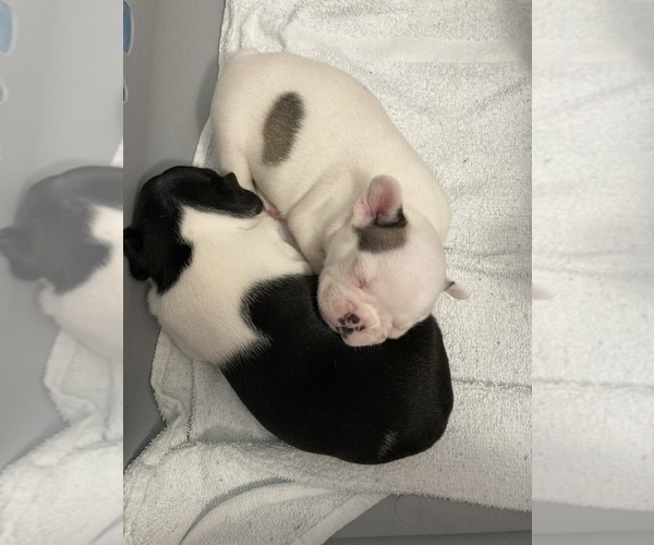 Medium Photo #6 French Bulldog Puppy For Sale in SAN DIEGO, CA, USA