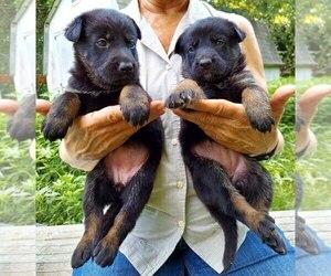 German Shepherd Dog Puppy for Sale in KANSAS CITY, Missouri USA
