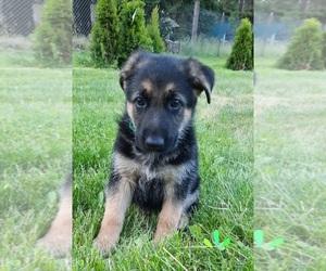 German Shepherd Dog Puppy for sale in EVANS, WA, USA