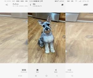 Schnauzer (Miniature) Puppy for sale in TERRYVILLE, CT, USA