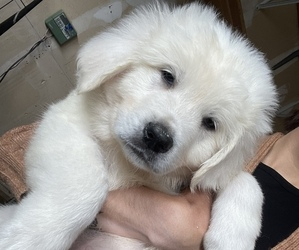 Great Pyrenees Puppy for sale in MEDFORD, OR, USA