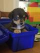 Chorkie Puppy For Sale in MINERAL, VA, USA