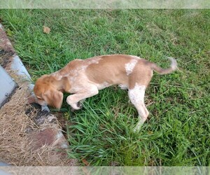 Coonhound Puppy for Sale in EWING, Illinois USA