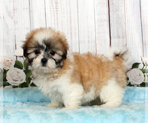 Mal-Shi Puppy for sale in PENNS CREEK, PA, USA
