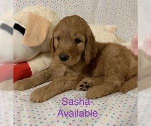 Goldendoodle Puppy for Sale in GRANT CITY, Missouri USA