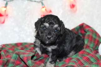 Poodle (Toy) Puppy For Sale in GRAY, LA