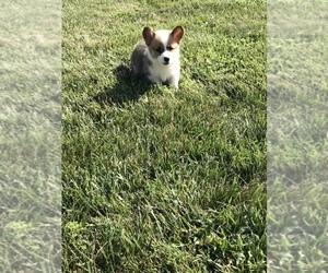 Pembroke Welsh Corgi Puppy for sale in FARLEN, IN, USA
