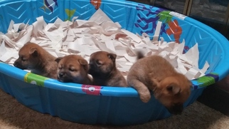 Shiba Inu Puppy For Sale in GREENWOOD LAKE, NY