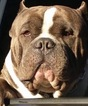 American Bully Puppy For Sale in WINSTON SALEM, NC