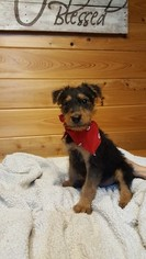 Airedale Terrier Puppy For Sale in WINNSBORO, LA