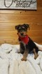 AKC Registered Airedale Terriers