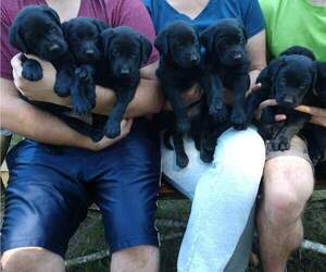 Labrador Retriever Puppy for Sale in SHELTON, Washington USA