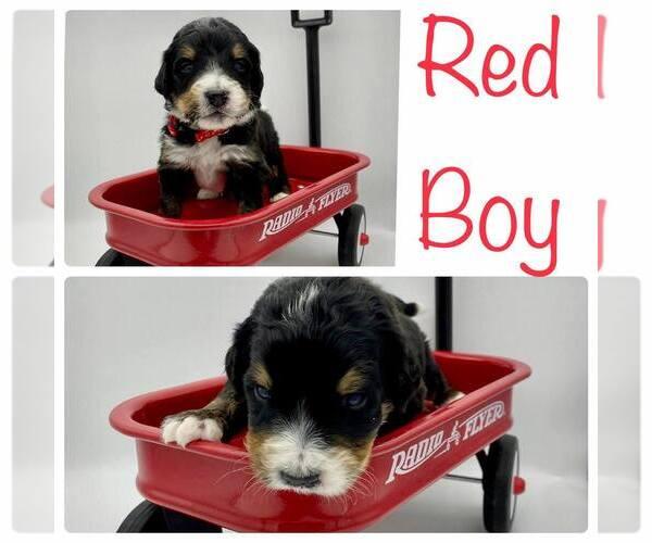 Medium Photo #9 Bernedoodle Puppy For Sale in ARAGON, GA, USA