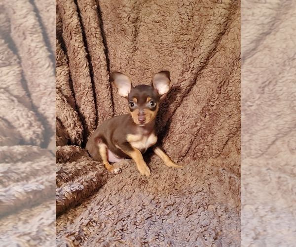 Medium Photo #3 Chihuahua Puppy For Sale in NOCONA, TX, USA