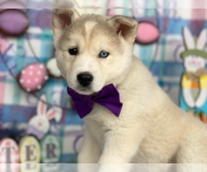 Labrador Retriever-Siberian Husky Mix Puppy for sale in LANCASTER, PA, USA