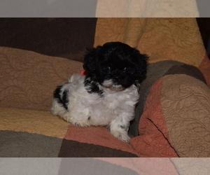 Zuchon Puppy for sale in MOUNT VERNON, IA, USA