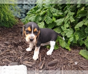 Beagle Puppy for sale in SPOKANE, WA, USA