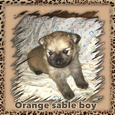Pomeranian Puppy For Sale in BOLING, TX