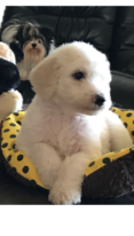 Poodle (Standard) Puppy For Sale in KENNEWICK, WA