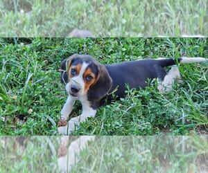 Beagle Puppy for sale in MACON, MO, USA
