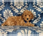 Small #4 Cavapoo