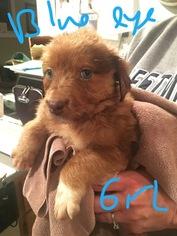 Australian Shepherd Dog For Adoption in SAINT LOUIS, MO, USA