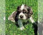 Puppy 2 Cocker Spaniel