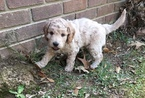 Goldendoodle-Unknown Mix Puppy For Sale in BRANDON, MS, USA