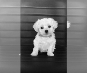 Bichon Frise Dog for Adoption in PAHRUMP, Nevada USA