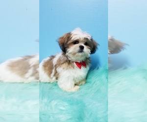 Shih Tzu Puppy for sale in DURANT, OK, USA
