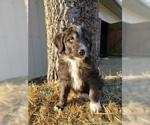 CKC F1 Black White Tuxedo Aussiedoodle Puppies