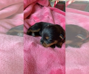 Rottweiler Puppy for Sale in OAK GLEN, California USA
