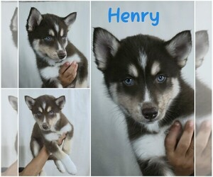 Pomsky Puppy for Sale in WEIR, Texas USA