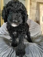 Irish Doodle Puppy For Sale in HUMESTON, IA, USA