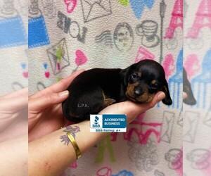 Dachshund Puppy for Sale in WINNSBORO, Louisiana USA