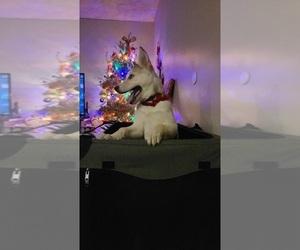 German Shepherd Dog-Siberian Husky Mix Puppy for sale in DOWNEY, CA, USA