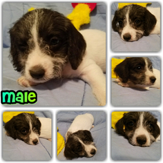 Wapoo Puppy For Sale in CELINA, TX, USA