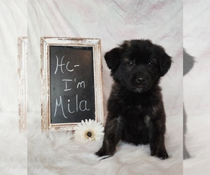 Golden Shepherd Puppy for sale in CHAMBERSBURG, PA, USA