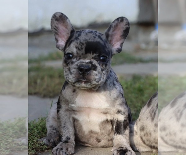 Medium Photo #1 French Bulldog Puppy For Sale in MANCHESTER, NH, USA