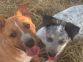 Australian Cattle Dog Puppies For Sale Seattle